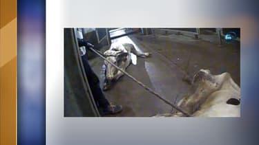 Des vaches malades traînées dans un abattoir polonais, dans un reportage de la télévision TVN24.
