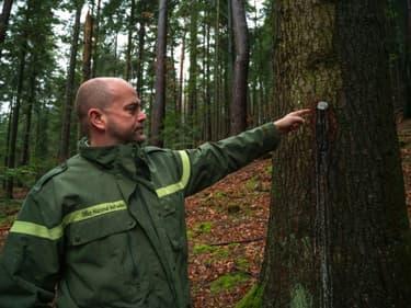 """Un agent de l'ONF désigne une plaque numérotée sur un sapin destiné au tirage au sort du """"bois bourgeois"""" près de Dabo (Moselle), le 3 février 2021"""
