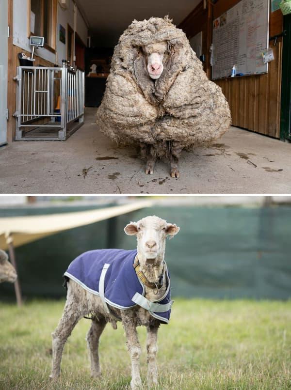 Baarack avant et après sa tonte