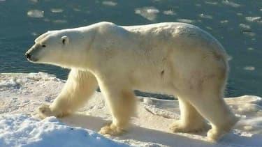 Un ours polaire au cape Churchill, Canada, un pays où il peut encore être chassé.