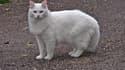 Chat blanc ressemblant à Calinou.