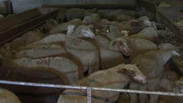 8.000 moutons vont être abattus dans le seul département des Alpes-Maritimes.