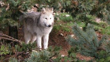 Des agriculteurs de Lozère dénoncent les attaques de loups contre leurs troupeaux.