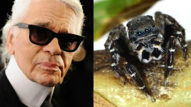 Karl Lagerfeld et l'araignée sauteuse