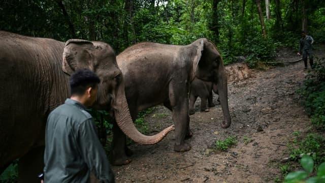 Un conservateur de l'environnement accompagne des éléphants dans un centre de préservation à Xishuangbanna, en Chine, le 20 juillet 2021