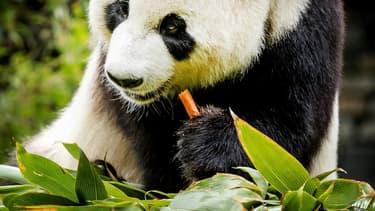 Xing Ya est le père du bébé panda né le 1er mai au zoo d'Ouwehands, aux Pays-Bas
