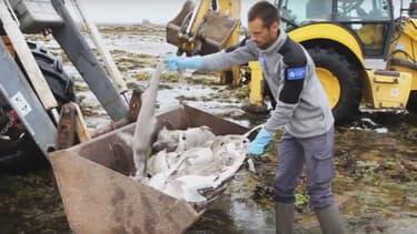 Ramassage de requins émissoles à marée basse.