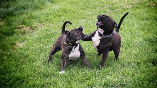Deux Staffordshire Bull Terrier. (illustration)