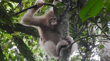 Photo non datée d'Alba, seul orang-outan albinos connu, repéré dans une forêt de Bornéo