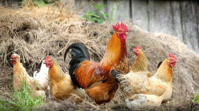 Des poules peuvent être à l'origine d'un trouble anormal de voisinage