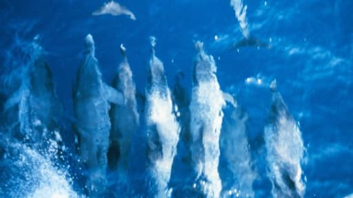 Groupe de dauphins.