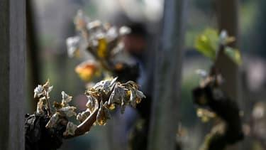 Des bourgeons de vigne endommagés par le gel dans un vignoble de Côte Rôtie, le 12 avril 2021 à Ampuis