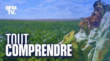 Un plan de betterave atteint de la jaunisse, le 4 août 2020, dans le Pas-de-Calais