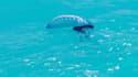 Une phylasie qui flotte sur l'eau.
