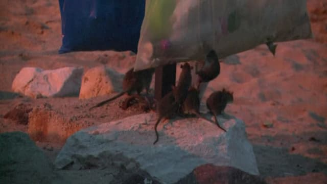 A la nuit tombée, les rats font bombance des poubelles de la plage de Cannes.
