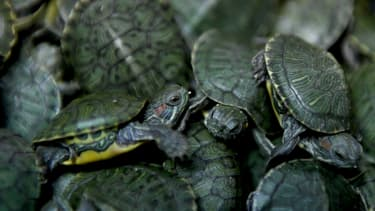 Des tortues (photo d'illustration)