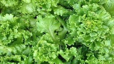 la salade, incontournable au potager