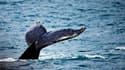 En Floride, seules cinq des 22 baleines échouées ont pu être sauvées.