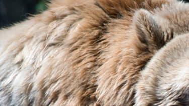Un ours grizzli. (illustration)