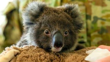 Un bébé koala orphelin au Kangaroo Island Wildlife Park, à Kingscote, le 7 janvier 2020 en Australie