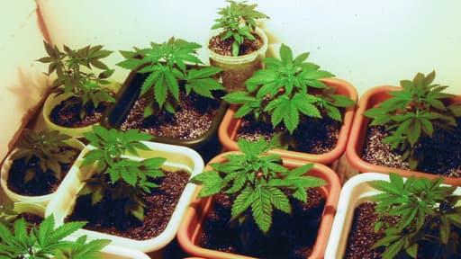 Après la découverte mardi d'environ 1.000 pieds de cannabis dans un hangar à Lille, la police judiciaire a été saisie