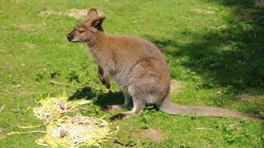Wallaby de Benett ou dit encore à cou rouge.