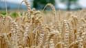 Le blé a besoin de beaucoup d'eau pour pousser.