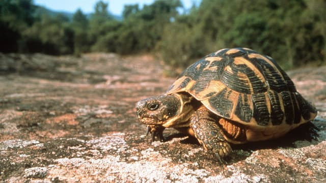 Une tortue d'Hermann à Gonfaron, dans le Var