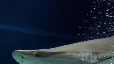 A La Réunion, 19 personnes ont été victimes de requin depuis 2011.