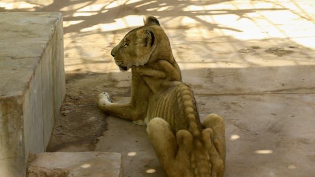 Une lionne malade et mal nourrie dans sa cage au Parc zoologique de al-Qureshi, à Khartoum, au Soudan, le 19 janvier 2020