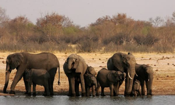 Eléphants d'Afrique