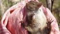 Deux nouvelles espèces d'antechinus, ont été découvertes en Australie.