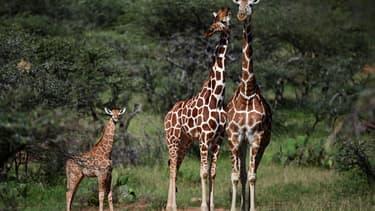 Des girafes, le 5 août 2019 à Nanyuki au Kenya.