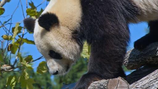 L'un des pandas géants du zoo de Beauval, dans le Loir-et-Cher.