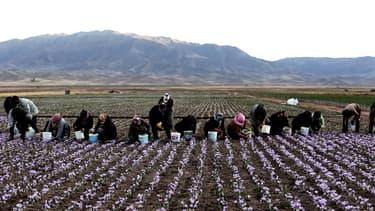 .Dans des champs où les plants ne font pas plus de 30 cm, les cueilleurs se courbent et cueillent, avec patience, emplissant leurs seaux de fleurs.