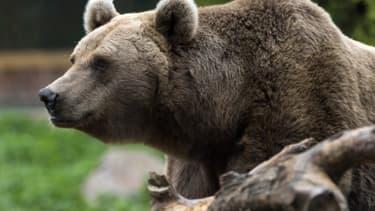 Un ours brun dans son enclos, au parc zoologique d'Amneville, le 12 octobre 2017 (Photo d'illustration)