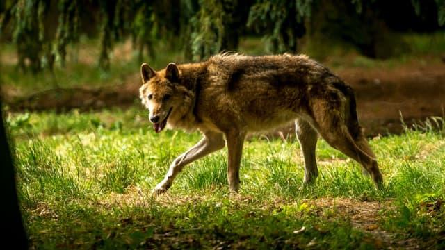 Un loup dans le zoo de Bourbansais