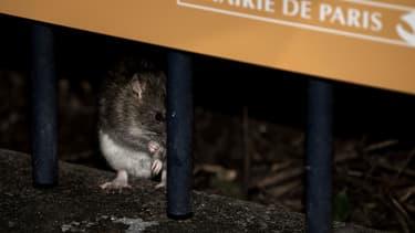 Un rat dans les environs de la Tour Saint Jacques à Paris