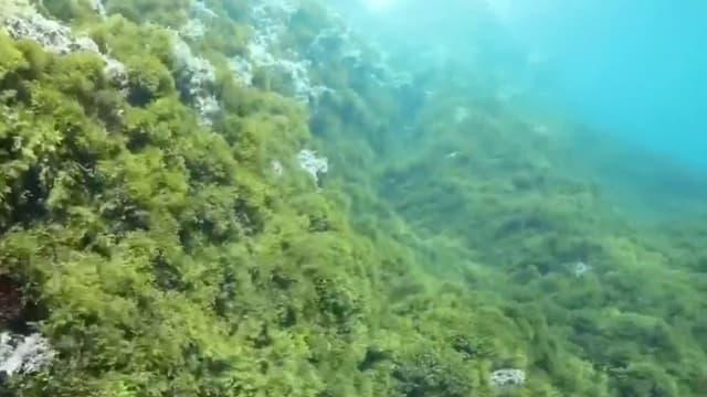 Une algue japonaise menace les calanques de Marseille.