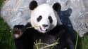 La population de pandas sauvage augmente en Chine (illustration)