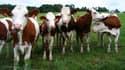 Les vaches se sont évadées de leur enclos pour visiter le terrain de football mitoyen.