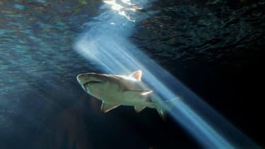 Un requin à l'Aquarium de Sydney (Australie) le 3 juillet 2010