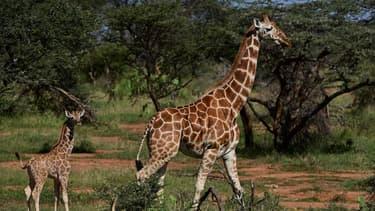 Deux girafes
