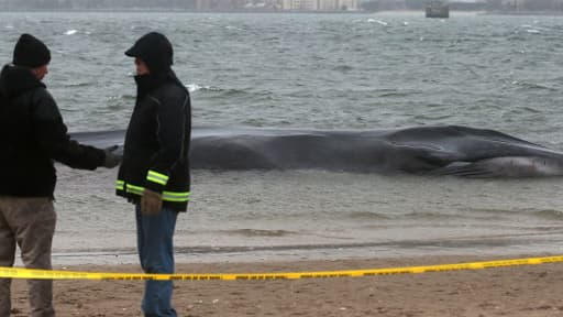 La baleine de 18 mètres de long, qui s'était échouée mercredi, était en mauvaise santé.