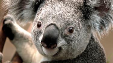 Koala (image d'illustration)