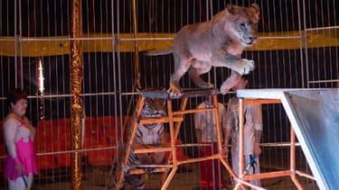 Un tigre de Sibérie dans un cirque - Image d'illustration