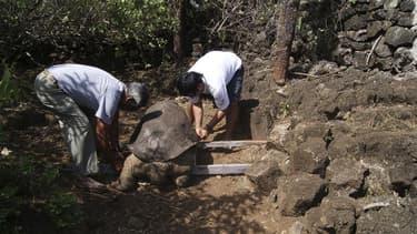 """""""Lonesome George"""", dernière tortue géante d'une espèce qui était présente aux Galapagos, îles au large de l'Equateur, est morte dimanche. Son âge était estimé à une centaine d'années. /Photo prise le 24 juin 2012/REUTERS/Direction du parc national des Gal"""