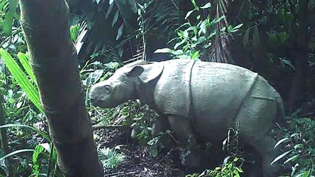 Un des deux rhinocéros de Java repéré dans le parc national d'Indonésie (photo d'illustration)