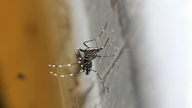 Le moustique tigre, aussi appelé Aedes albopictus, est le seul à transmettre le chikungunya et la dengue.