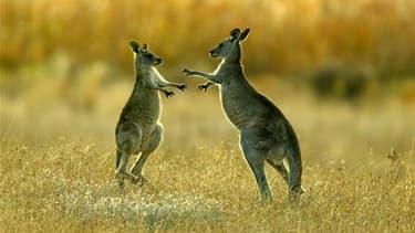 Un kangourou en mal d'amour s'en est pris à des promeneuses dans le Territoire du Nord en Australie, suscitant un afflux de plaintes auprès des autorités. Selon la police locale, le kangourou a importuné plusieurs habitants des montagnes Honeymoon, située